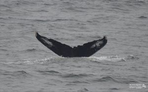 Whale Watch Sedge Tail Fluke