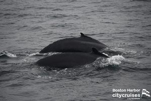 Whale Watch Dross and Calf Swimming