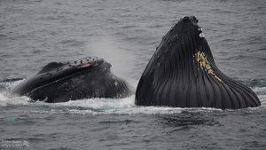 Whale Watch Shuffleboard and Tongs Humpback Whales