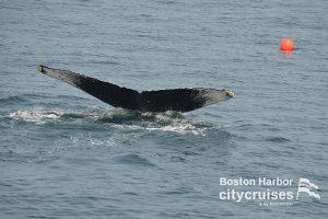Whale Watch Dross Tail Fluke