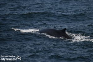 Whale Watch Fin Whale Left Chevron