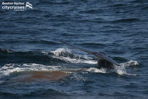 Whale Watch Fin Whale Fluke