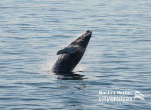 Whale Watch Dross Calf Breach