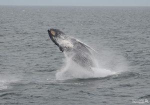 Whale Watch Dross Spinning Breach