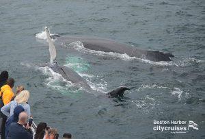 Whale Watch Nine and Calf
