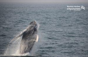 Whale Watch Pitcher Breach