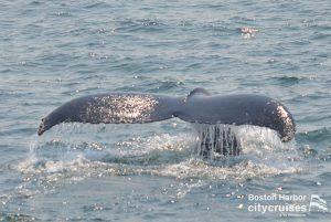 Whale Watch Milkweed Diving