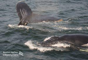 Whale Watch Dross Calf Head and Fluke