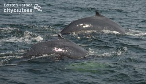 Whale Watch Dross and Calf Diving