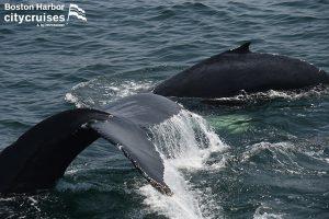 Whale Watch Dross & Calf