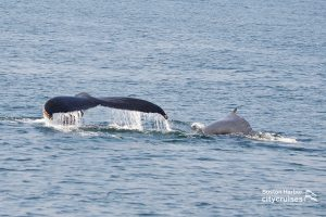 Whale Watch Dross and Calf Dive