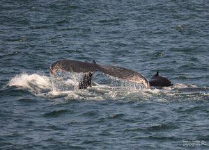 Whale Watch Dross Fluking