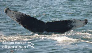 Whale Watch Dross Fluke