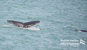 Whale Watch Dross Fluke with Calf