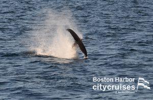 Whale Watch Dross Calf Tail Breach