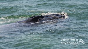 Whale Watch: Whale breaching water