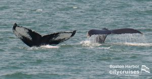 Whale Watch: two whale tails