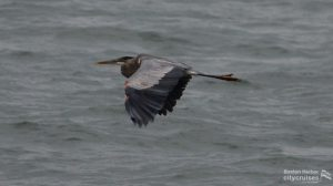 Whale Watch: Great blue heron Laura Lilly