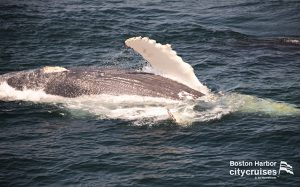Whale Watch: Whale fins out of the water