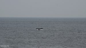 Whale Watch: Whale tail from afar