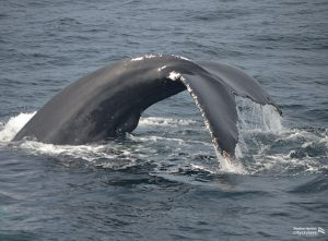 The tail of a whale curved as it sinks into water