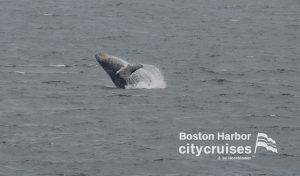 Whale leaping out of water arching backwards.