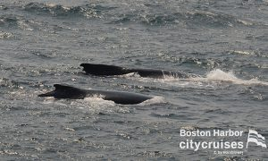 Two younger whales swim next to each other.