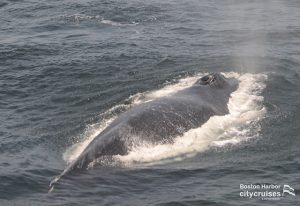 Whale blowing out water at surface.