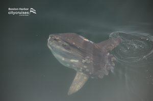 Ocean Sunfish at surface.