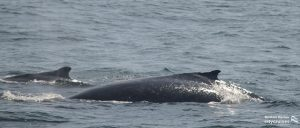 Whale with its calf surfacing.