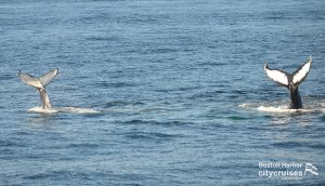 Double whale tails diving.