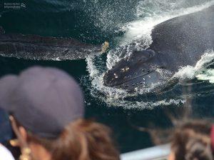 Whale Watch: Curious Calf