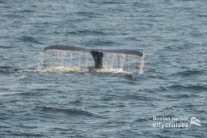 Whale Watch: Dross Fluking