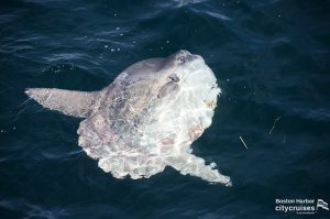 Whale Watch: Mola Mola