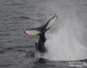 Whale Watch: Dross Calf Tail Breach