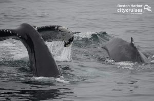 Whale Watch: Dross and Calf