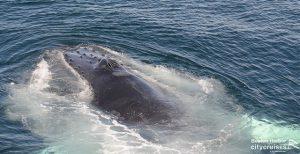 Whale Watch: Dross Close Feeding