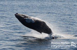 Whale Watch: Dross Calf Breach