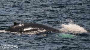 Whales back breaching surface of water.