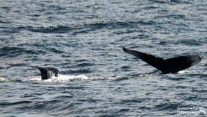 Two whales descending into water tails visible.