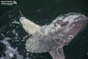 A Mola mola (Ocean Sunfish) at surface.