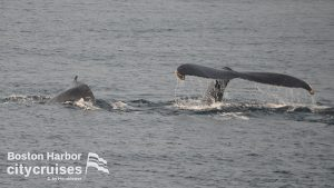 Whale diving and one at surface.