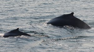 Two whales descending into water backs visible.