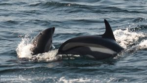 Two dolphins at surface on with a white side.