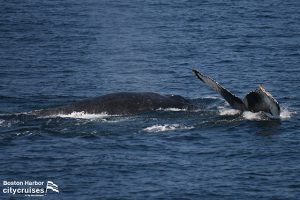 Two whales one diving one at surface.