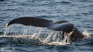 Closeup of whale's tail as diving water streaming off.
