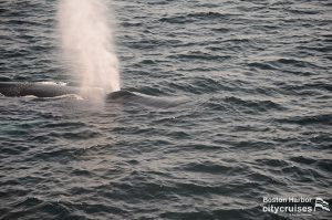 Whale blowing water.