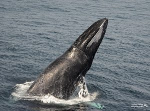 Whale Breaching surface of water.