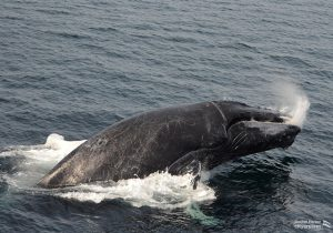 Whale splashing down after breaching surface.