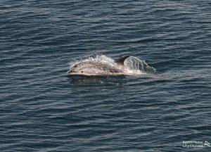 Dolphin surfacing